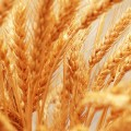 Close up of wheat ears - shallow depth of field